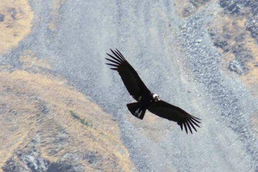 Condor en Iruya