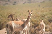"vicuñas puna argentina 180x120 - Pack 4 ""Salt & Quebrada"""